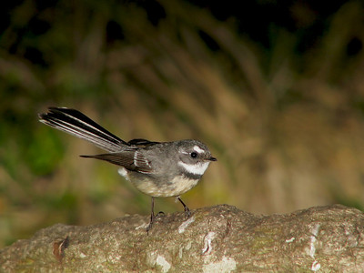 FANTAIL GREY_09