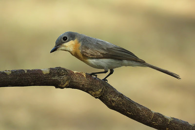 FLYCATCHER LEADEN F_41