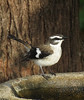 ROBIN WHITE-BROWED_24