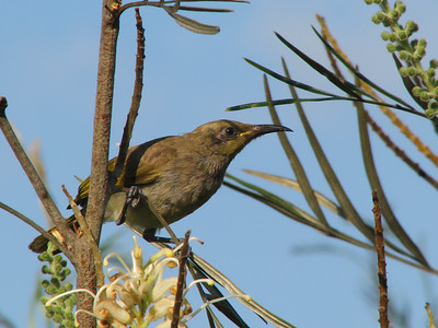 HONEYEATER BROWN_13