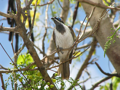 HONEYEATER BLUE-FACED_08