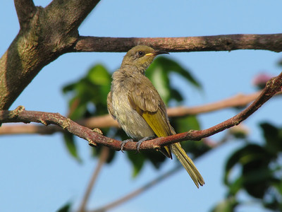 HONEYEATER BROWN_11