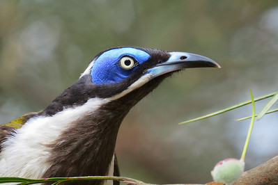 HONEYEATER BLUE-FACED_19