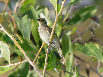 HONEYEATER BROWN_07a
