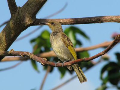 HONEYEATER BROWN_12