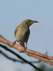 HONEYEATER BROWN_15