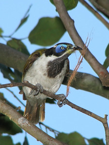 HONEYEATER BLUE-FACED_15