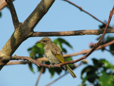 HONEYEATER BROWN_10