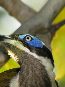 HONEYEATER BLUE-FACED_17