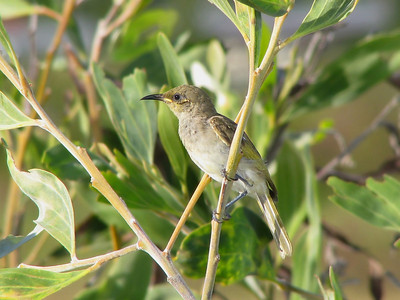 HONEYEATER BROWN_09a
