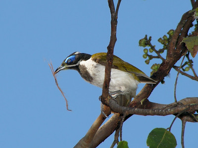 HONEYEATER BLUE-FACED_13