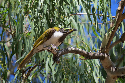 HONEYEATER BLUE-FACED_18