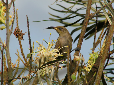 HONEYEATER BROWN_14