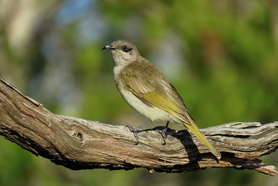 HONEYEATER BROWN_28