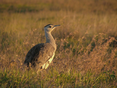 BUSTARD F 16  SHOT TAKEN RIGHT AFTER SUNRISE HENCE SUCH STRONG COLOURS