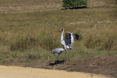 BROLGA  67 UNUSUAL BEHAVIOUR, AT LEAST AMONGST BIRDS, I THINK