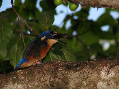 KINGFISHER AZURE_14