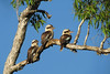 KOOKABURRA LAUGHING_46
