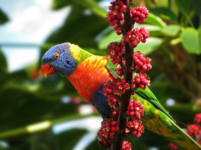 LORIKEET RAINBOW_30