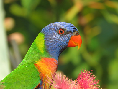LORIKEET RAINBOW_64
