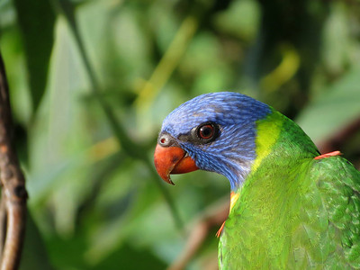 LORIKEET RAINBOW_38