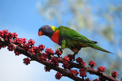 LORIKEET RAINBOW_31