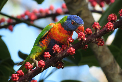 LORIKEET RAINBOW_27