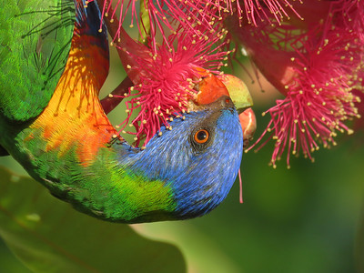 LORIKEET RAINBOW_62