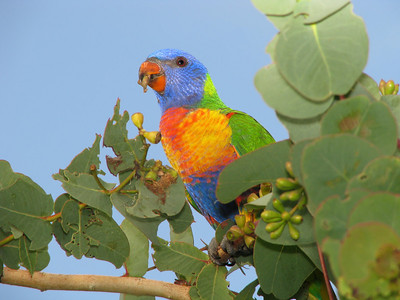 LORIKEET RAINBOW_12