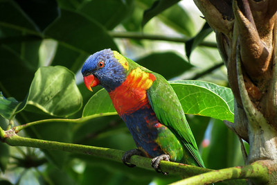 LORIKEET RAINBOW_28