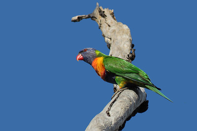 LORIKEET RAINBOW_67