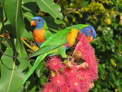 LORIKEET RAINBOW_54