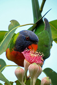 LORIKEET RAINBOW_37