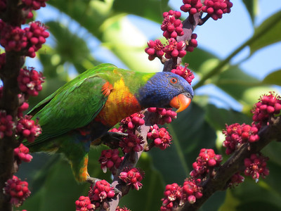LORIKEET RAINBOW_46