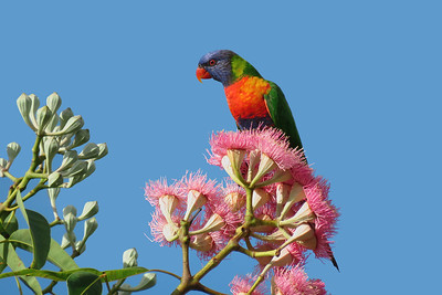 LORIKEET RAINBOW_76