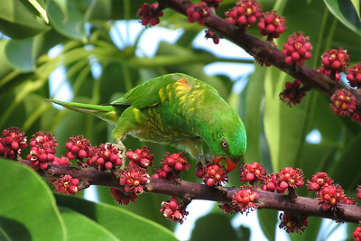 LORIKEET SCALY-BREASTED_12