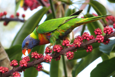 LORIKEET RAINBOW_33