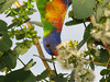 LORIKEET RAINBOW_07