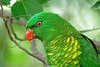 LORIKEET SCALY-BREASTED_27