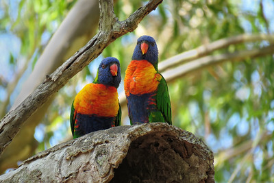 LORIKEET RAINBOW_69