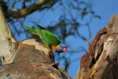 LORIKEET RAINBOW_74