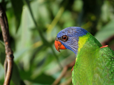 LORIKEET RAINBOW_32