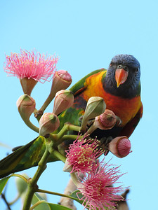 LORIKEET RAINBOW_34