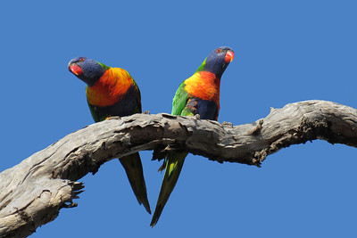 LORIKEET RAINBOW_68