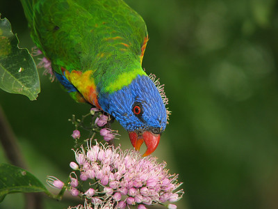 LORIKEET RAINBOW_20