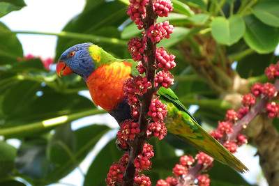 LORIKEET RAINBOW_29