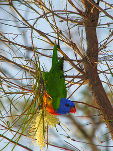 LORIKEET RAINBOW_06
