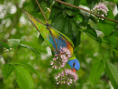 LORIKEET RAINBOW_17