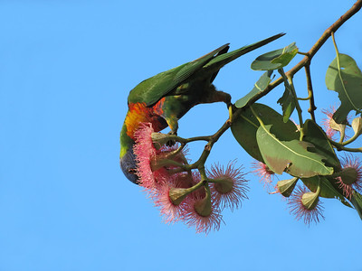 LORIKEET RAINBOW_35