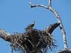 OSPREY T  05<br /> THE OSPREY CHICK BEING VERY VOCAL ABOUT WANTING A FEED FOR BREAKFAST